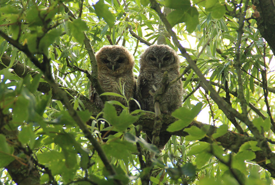 Pair of Young Tawny Owls on a Branch