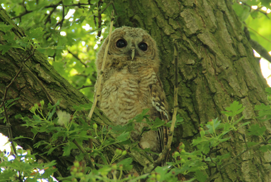 Tawny Owl Perched in a Tree