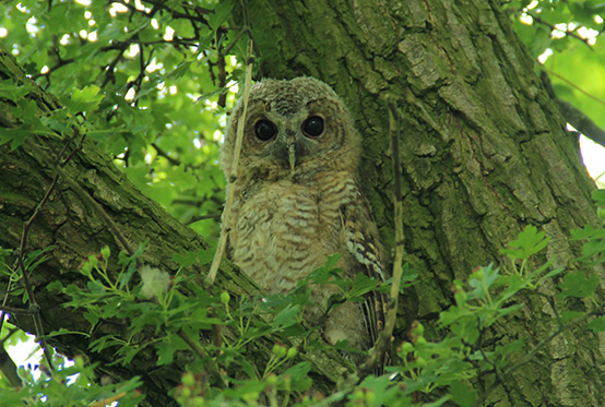 Tawny Owl in a Tree