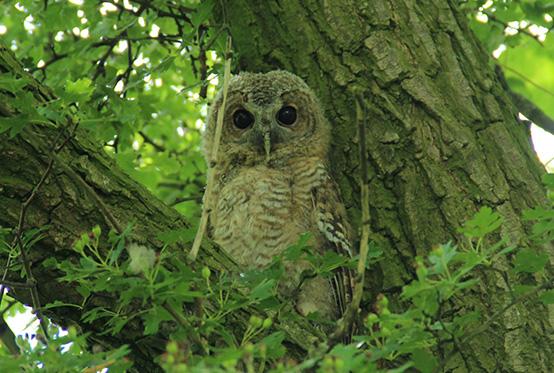 Tawny Owl in a Tree