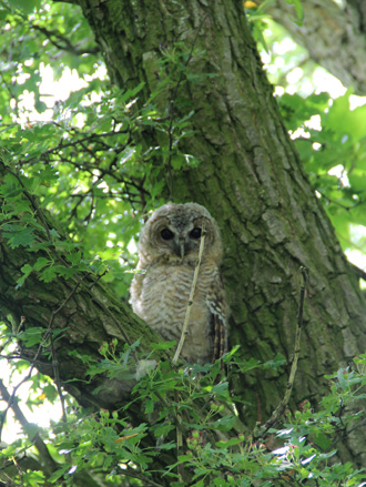 Tawny Owl sat on a branch in a tree
